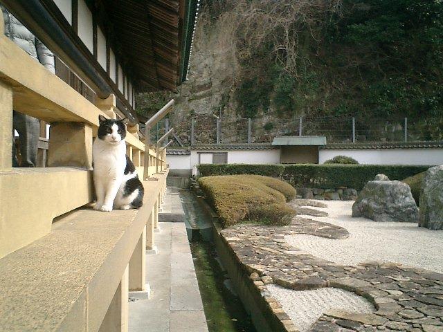 06)鎌倉市材木座「光明寺」本堂石庭縁側の'デイブ平尾'(本名'モモ')。最近は、手招きしても寄って来なくなってしまった。
