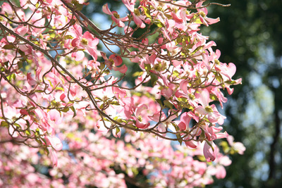 dogwood_tree02sm